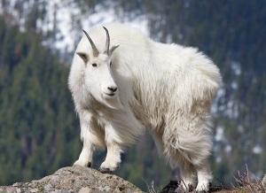 Mountain Goat (Oreamos americanus) on rocky outcrop, western montana.
