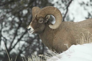 mountainram