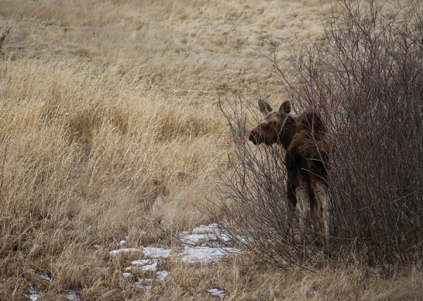 Baby Moose for Web